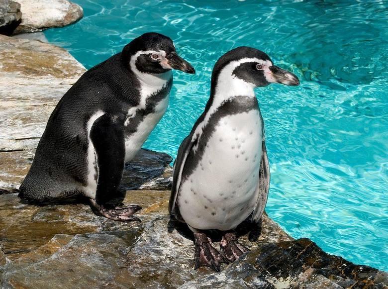 Pingwiny Humboldta (Spheniscus humboldti), nazywane również pingwinami peruwiańskimi, w naturalnym środowisku występują na wybrzeżach Peru i Chile.