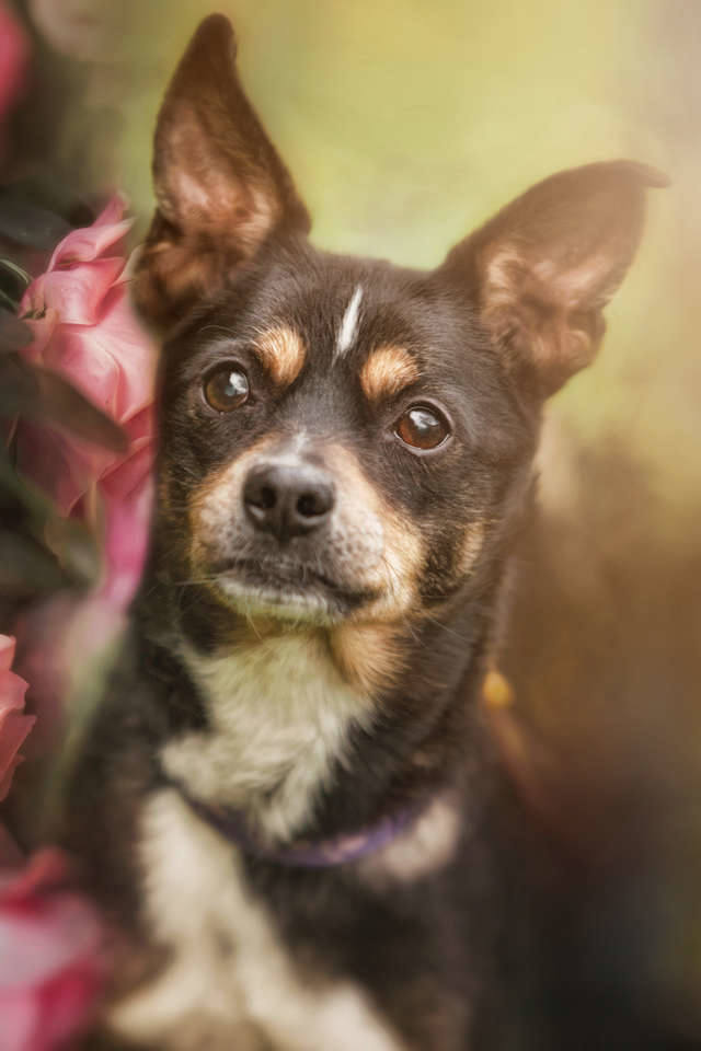 Murzyn jest małym psem w wieku około dziewięciu lat. Jego właściciel trafił do szpitala, a pies musiał zostać oddany do schroniska.