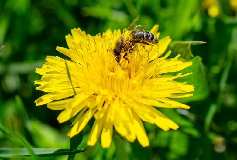 Pomimo ogromnej popularności mniszka lekarskiego, miód z jego kwiatów znany jest wąskiemu gronu konsumentów. Ma żółto-pomarańczowy kolor, a w smaku jest