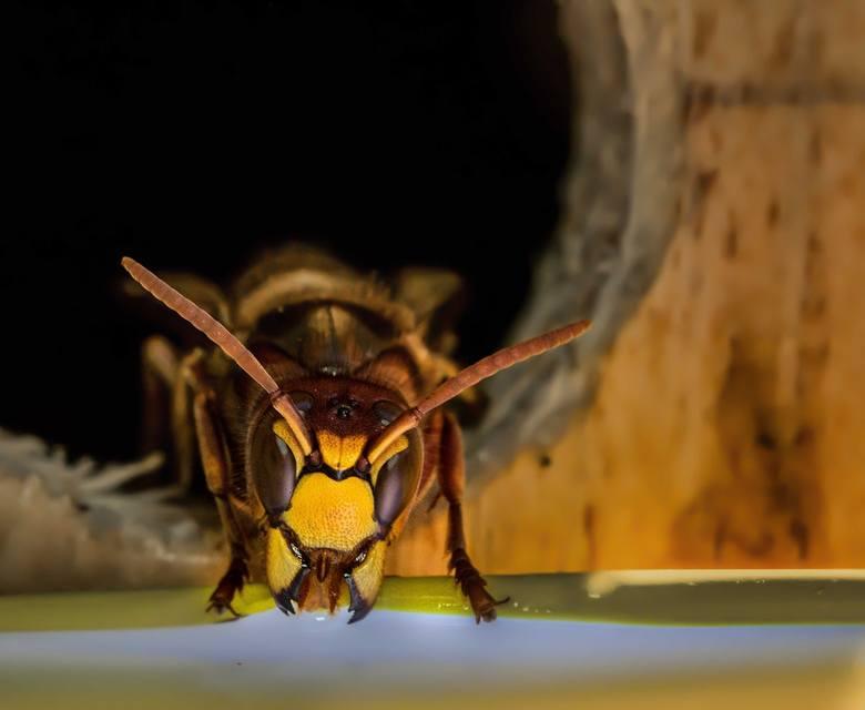 Właściwością szerszenia jest obojętność na człowieka. Szerszenie atakują tylko wtedy, gdy bronią swojego gniazda. W gnieździe może być jednocześnie nawet 600-700 szerszeni. Jeszcze więcej u os, a najwięcej u pszczół – do kilkudziesięciu tysięcy.