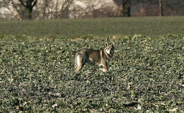 Czy pod Czarnkowem wilki zagryzły psa? Miejscowa ludność plotkuje o agresywnych zwierzętach, ale nie ma na to żadnego potwierdzenia. Faktem jest, że