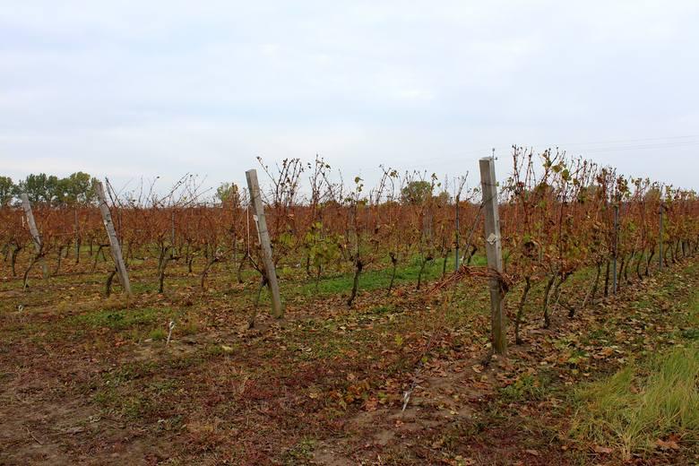 """Winnica """"Saint Vincent"""" założona została w 2009 roku. Jej przeznaczeniem jest kontynuowanie tradycji winiarskich Zielonej Góry i regionu."""