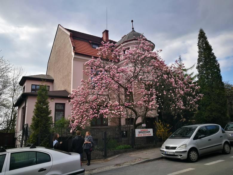 """willa Czepelów<br /> Drzewo magnolii """"Alexandrina"""" stoi też przed secesyjnym domem należącym do Karla Czepela, w którym od 1910 roku prowadził on prywatną Szkołę Handlową. <br /> Przy ul. 3 Maja zobaczymy zresztą wiele pięknych drzew. Kilka domów dalej, pod numerem 13, przy willi z lat 20. XX..."""