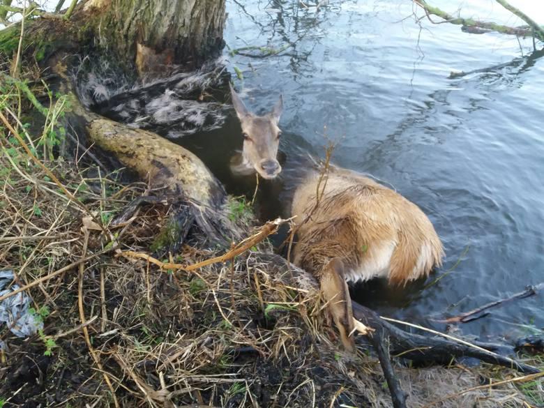 Samica jelenia prawdopodobnie przechadzając się nad rzeką nie miała szczęścia. Zakleszczyła się w konarze drzewa, które pochyliło się na brzegu. W środę