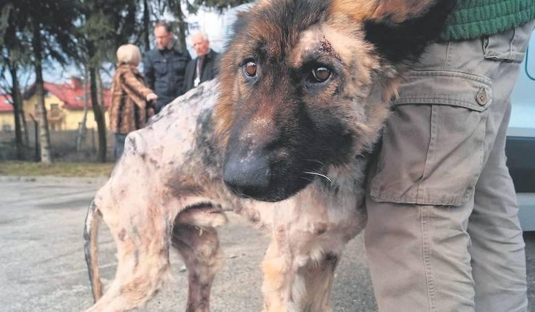 Kundelek przy budzie na długie dni pozostawiany był przez Przemysława Sz. bez wody i jedzenia, także zimą. Cierpienie psa przerwała interwencja policji.