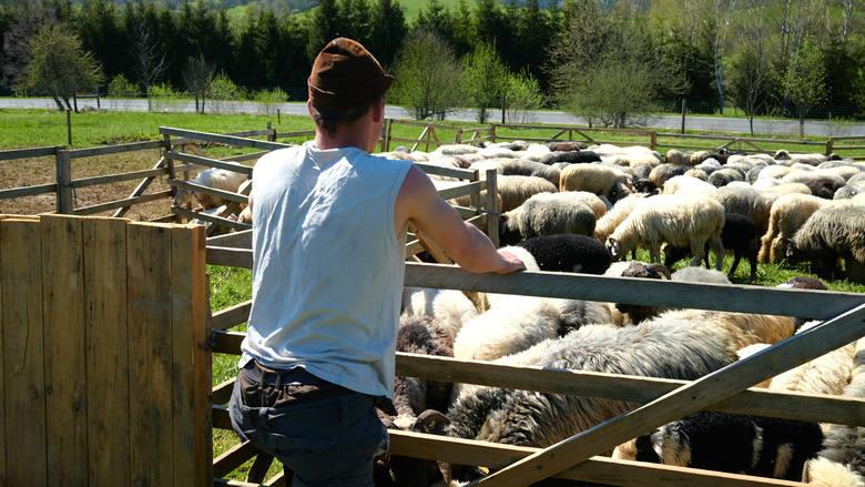Damian interes przejął po dziadku, który jeszcze kilka lat temu, póki zdrowie pozwalało, zajmował się owcami
