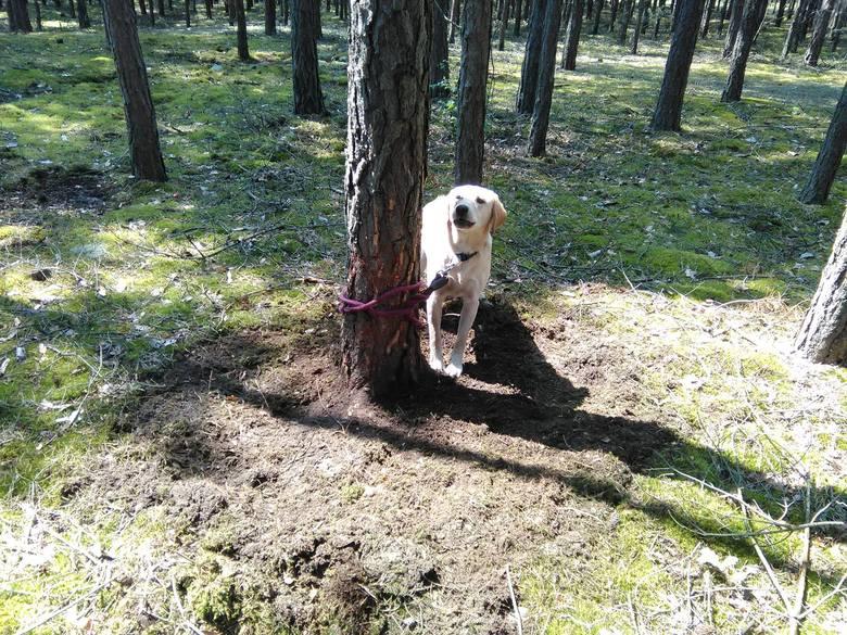 Piesek w typie labradora