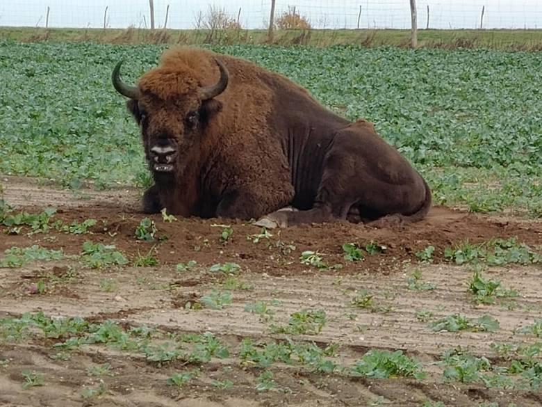 Niecodzienny gość koło Bytowa. Żubr w obiektywie leśników (zdjęcia)