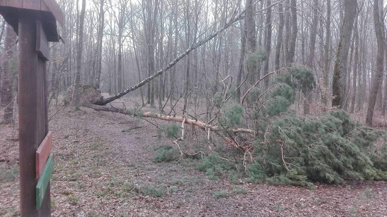 W lasach Podkarpacia trwa porządkowanie po wiosennych wichurach, które wyrządziły sporo szkód w drzewostanach. Również w podkrośnieńskiej Dębinie dobiega