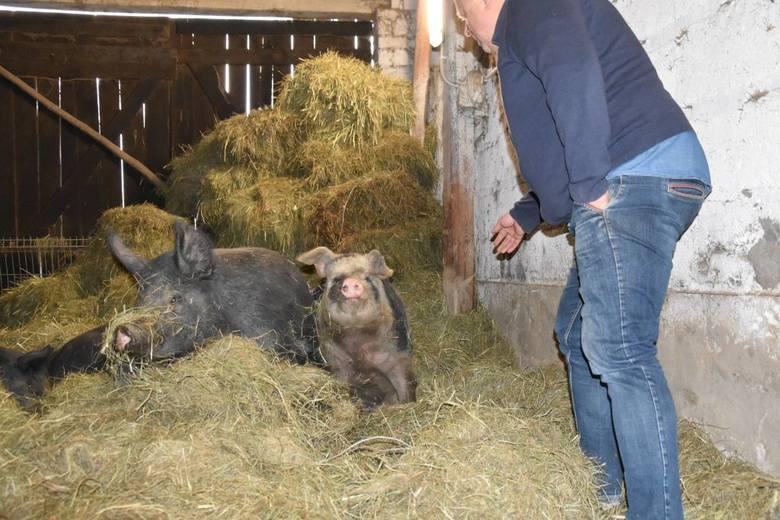 W Wełpinie dbają, by świnie miały dobre życie, ale nie przekłada się to na dochody rolników [zdjęcia]