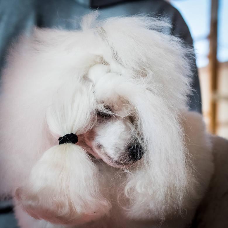 Miłość do psów nie zna granic. Można się było o tym przekonać odwiedzając dwie wystawy - XIII Walentynkową Wystawę Psów Rasowych oraz VIII Nocną Wystawę