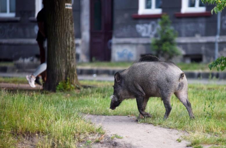 Zielona Góra. Plan redukcji liczby dzików w większości już wykonany. Ile sztuk zwierząt odstrzelono?