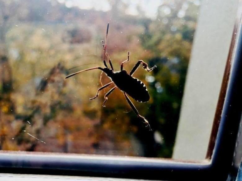 Śmierdzący owad wciska się do domów i mieszkań. To wtyk amerykański. Inwazja wtyka amerykańskiego w Małopolsce