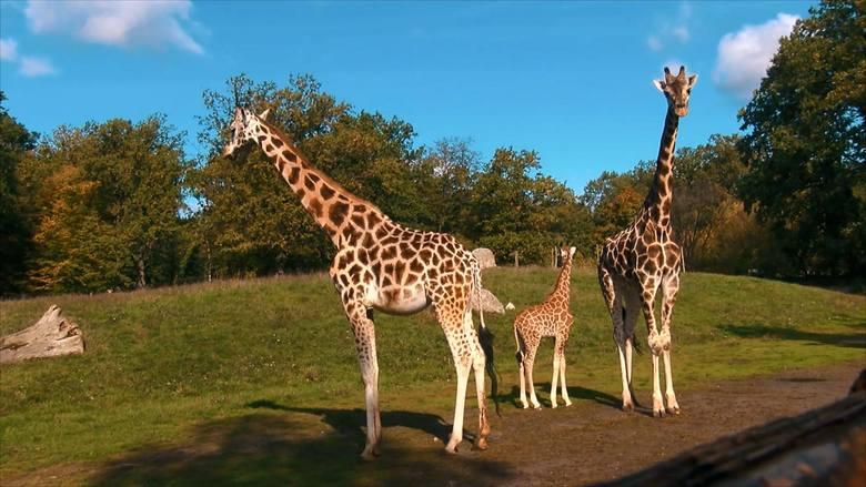 Żyrafie stado ma jednego przywódcę, którym jest czołowy samiec. Nie toleruje on dzieci samic z poprzednich związków