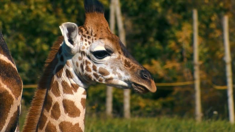Żyrafy nie lubią zmian. Są też wyjątkowo spostrzegawcze