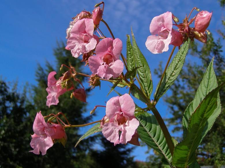 Zwykle cieszymy się, kiedy jakaś roślina dobrze rozrasta się. Ale są takie, które szybko wypierają inne rośliny i zarastają wszystko.Niektóre z nich