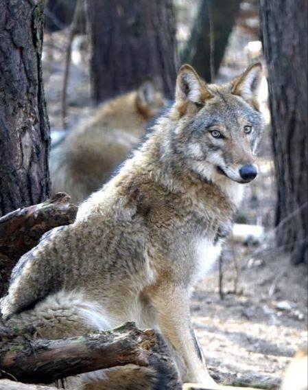 Wilki niemal zniknęły z Polski