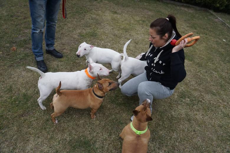 Wantedbulls od kilku lat zajmuje się hodowlą bulterierów miniaturowych