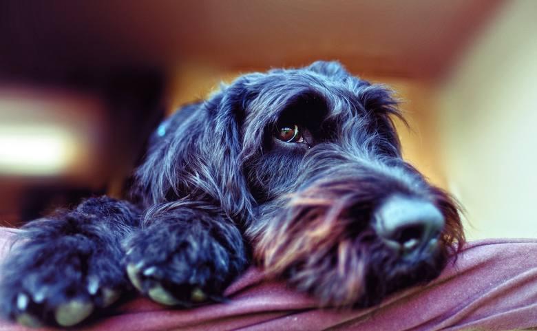 Jaki pies dla alergika? Powszechnie uważa się, że mniej reakcji uczuleniowych wywołują psy z włosami, ale w rzeczywistości nie ma gwarancji, że dana