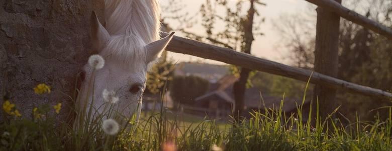 Dzień Konia 2019. Zęby konia nigdy nie przestają rosnąć - ciekawostki