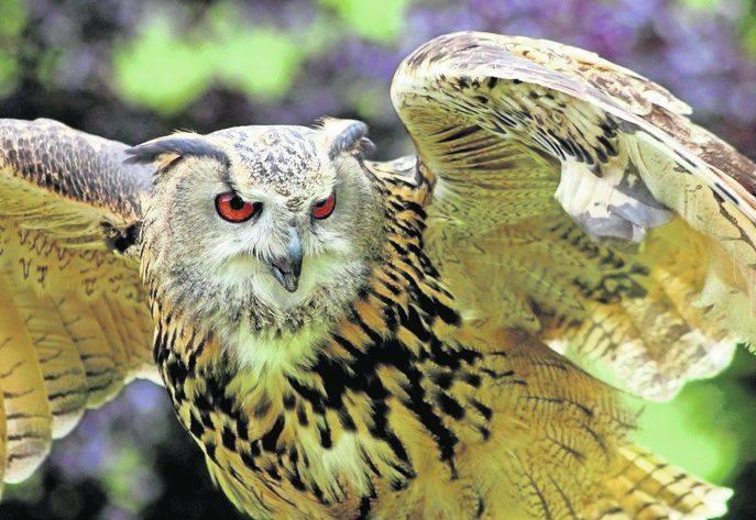 Takiego ptaka - puchacza Bubo bubo - będą przez najbliższe tygodnie wypatrywać z aparatami fotograficznymi w Pieninach