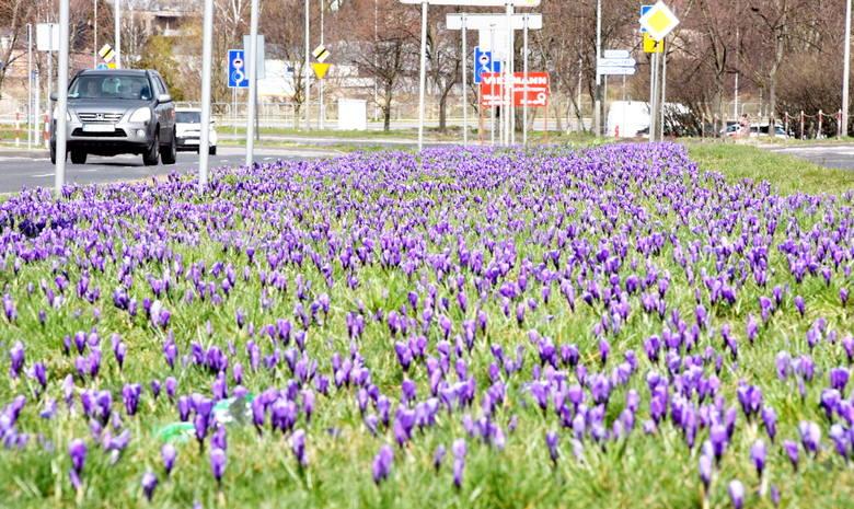 Mamy wiosnę! W Zielonej Górze pojawiły się pączki na drzewach i kwiaty. Na trawnikach kołyszą się kwiaty. Przy rondach i wzdłuż ulic możemy podziwiać