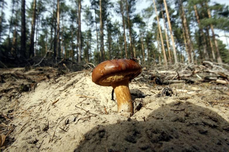 Grzyby jadalne: PodgrzybekPodgrzybek brunatny Wygląd Rozmiar dochodzi do 15 cm średnicy. Jest nagi i gładki, u młodych egzemplarzy półkolisty z podwiniętymi