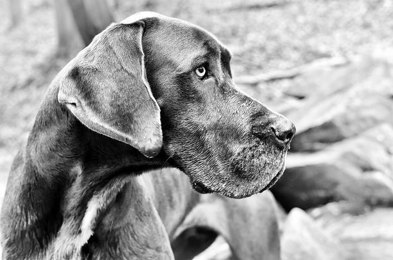 Rasy psów, które żyją najkrócej. Niektóre z nich dożywają tylko kilku lat. Sprawdź, czy na liście znajduje się twój pies