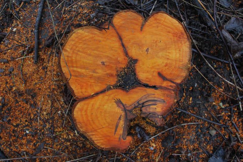 Wycinka drzew - Stare Żegrze