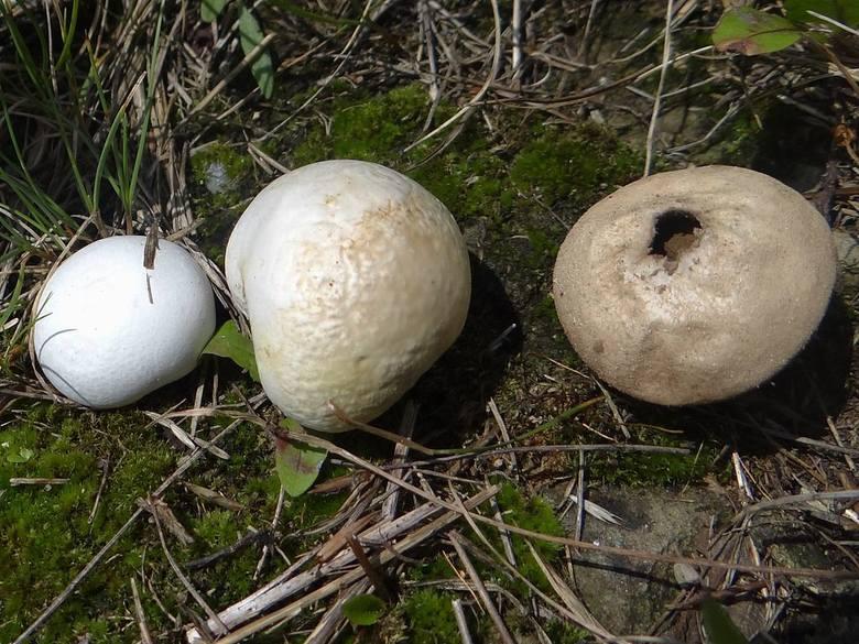 <strong>Kurzawka czerniejąca (Bovista nigrescens) - jadalny</strong><br /> <br /> Średnica i kolor: 1,5 -5 cm średnicy. Kolor biały. Po odpadnięciu okrywy zewnętrznej okrywa wewnętrzna robi się brązowoczarna. <br /> <br /> Grzyb zazwyczaj występuje w górach, na łąkach oraz pastwiskach. Jeść można tylko...