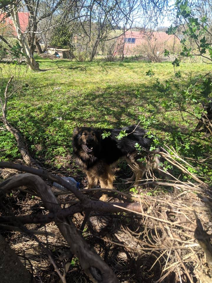 Na ulicę Rybackiej w Miastku przybłąkały się dwa psy. Jeden w typie owczarka, drugi mieszaniec. Psy weszły na opuszczoną posesję. - Czy ktoś rozpoznaje