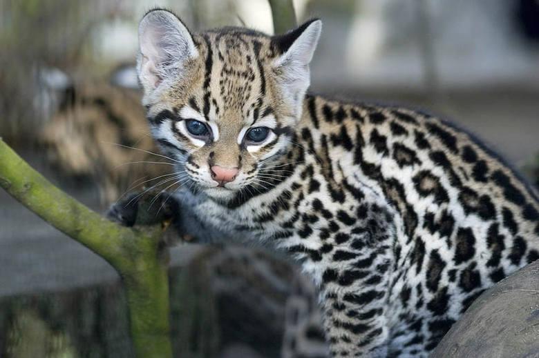 Oceloty to piękne koty. Tu jeden z mieszkających w krakowskim zoo