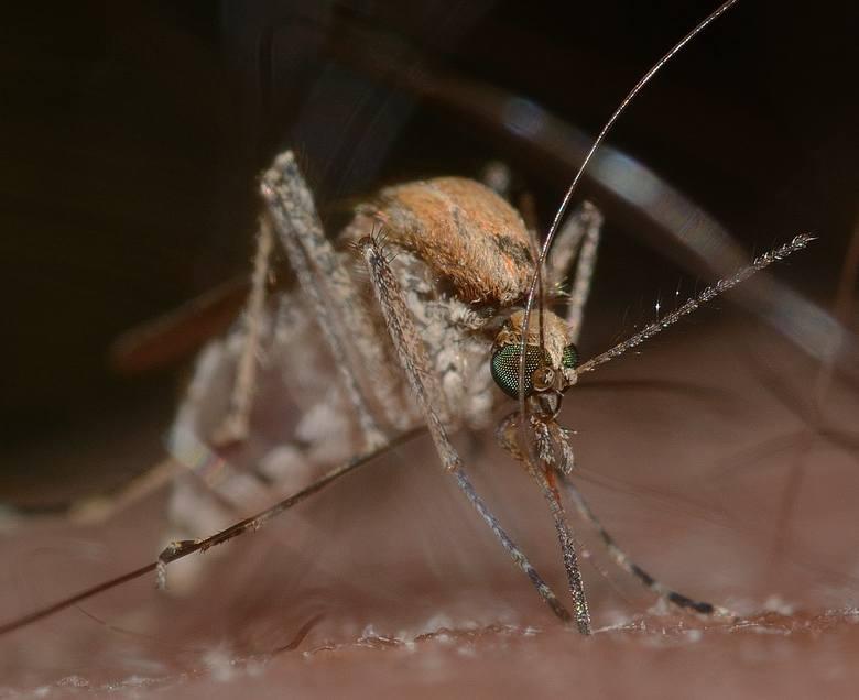 Komary atakują miasta i wsie. Dlaczego teraz i jak się bronić?