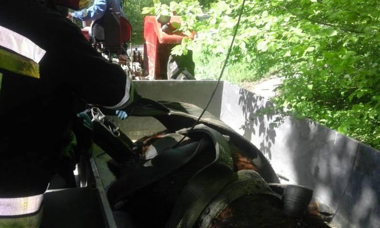 Lipie. Strażacy uratowali krowę, która spadła z 10 metrów. Zwierzę ugrzęzło w rowie [ZDJĘCIA]