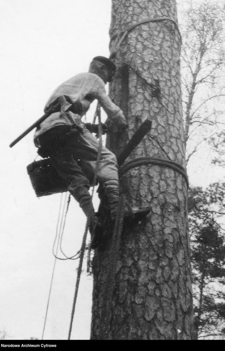 Na zdjęciu: bartnik przy barci (osoba zajmująca się zbieraniem miodu z drzew).1937 rok.