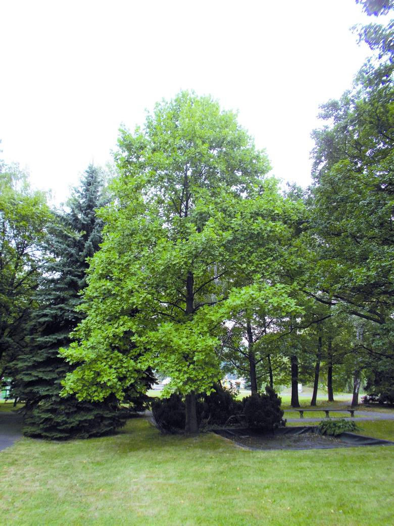 Jakie drzewa rosną w Parku Śląskim? Sprawdź [INTERAKTYWNA MAPA]