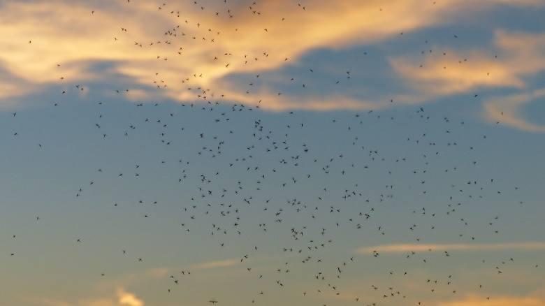 """Plagi komarów zdarzają się, jeżeli wiosna jest wilgotna oraz jeżeli był duży """" zapas"""" komarów (samic), które w zeszłym roku zeszły na zimowanie. Pojedynczy komar żyje tylko kilka tygodni, a potem ginie, albo jest zjadany przez drapieżne zwierzęta: pająki, owady i owadożerne ptaki."""
