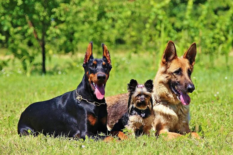 Najmądrzejsze rasy psów. TOP 10 najmądrzejszych ras psów: szybko uczą się komend, sztuczek i czują silną więź ze swoim panem. Oto one!