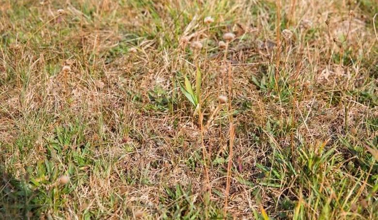 Jak szacować straty po suszy na łąkach? Ministerstwo odpowiada
