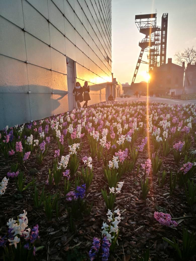 Krokusy i hiacynty przy Muzeum Śląskim. Kwiaty zakwitły w kwietniu 2019. Wiosna w Katowicach jest piękna