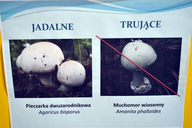 Pieczarki jadalne, a trujące muchomory: Wszelkie odmiany pieczarek są do siebie podobne. Jadalne pieczarki po zebraniu ciemnieją pod kapeluszem, pozostałe