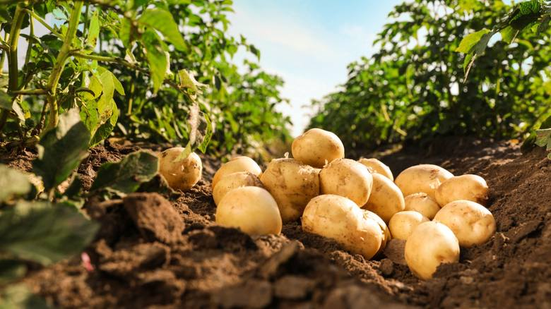 Regulatory wzrostu w uprawie roślin