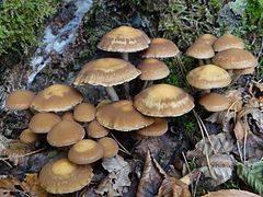 <strong>Kruchaweczka namakająca (Psathyrella piluliformis) - jadalny</strong><br /> <br /> Średnica i kolor: grzyb o barwie żółtobrązowej lub czerwonobrązowej. 2-7 cm średnicy. <br /> <br /> Blaszki: na początku blaszki są jasnobeżowe. Po czasie stają się ciemnobrązowe lub brązowoczarne. Są gęste -...