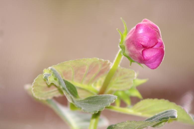 GloxiniaKwiat uchodzi za talizman sukcesu i dobrobytu.