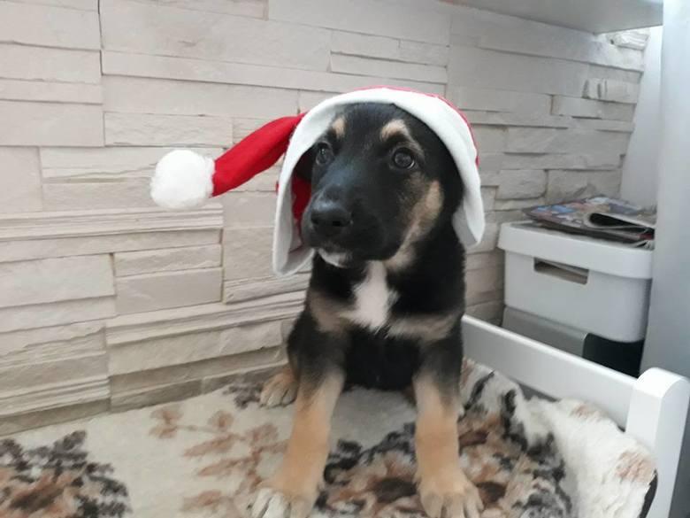 Fundacja Na Pomoc Zwierzakom z Tereską znajdująca się na terenie Koszalina prosi o pomoc w znalezieniu domu dla pięknej suni szczeniaczka Jeżynki. W