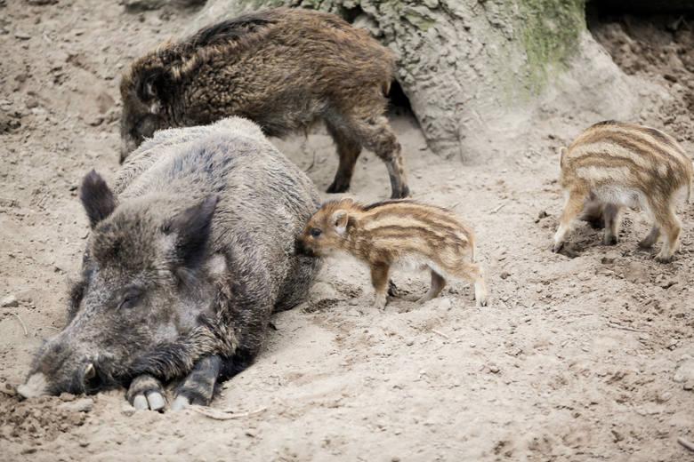 Afrykański pomór świń to choroba, która nie jest groźna dla ludzi, jednak śmiertelna dla zwierząt. Ministerstwo Środowiska w celu walki z epidemią nakazuje
