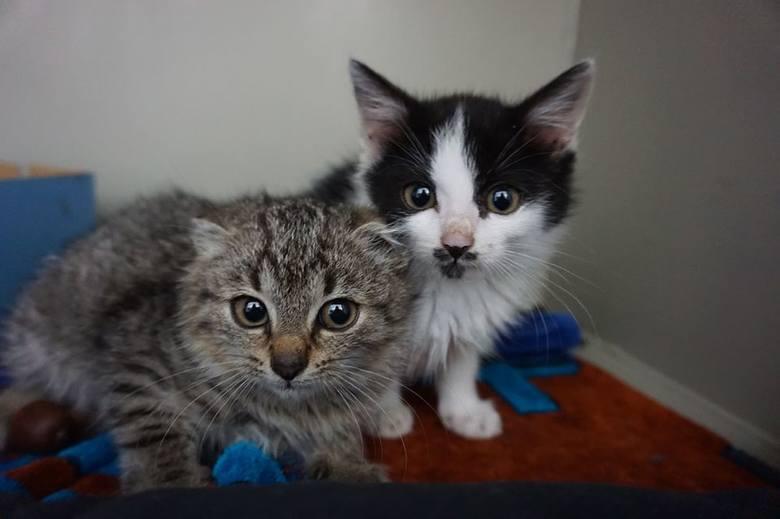 Te śliczne i kochane kocie malizny to: Diani (bura) i Mombasa (czarno-biała). Kocie dziewczynki mają 3 miesiące. Kociaki są jeszcze na kwarantannie.