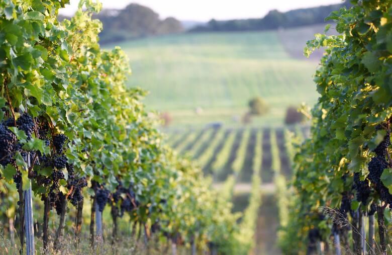 Przez region przebiega  jedyny w Polsce Szlak Wina i Miodu. Na ponad 200-kilometrowej trasie znajdziemy bujne winnice, lokalne muzea oraz gospodarstwa