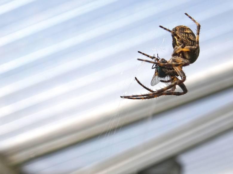 W naszych domach chętnie pojawiają się i zamieszkują wiele gatunków pająków. Do najpopularniejszych należą:- nasosznik trzęś, - kosarze,- kątniki do