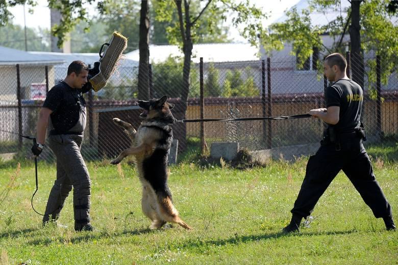 Policyjni przewodnicy psów służbowych nie tylko patrolują wyznaczone rejony służbowe, ale także cały czas szkolą się i podnoszą swoje kompetencje w zakresie